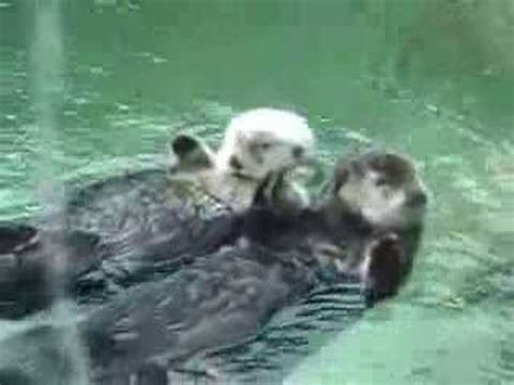 Otters holding hands - YouTube